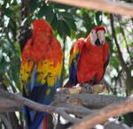 Macaws by nombre1gardien
