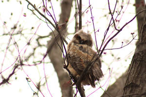 Young Great Horned Owl by Pinfires