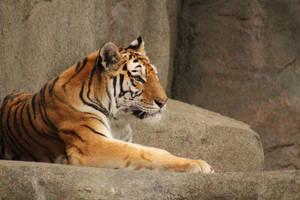 Tiger by Pinfires