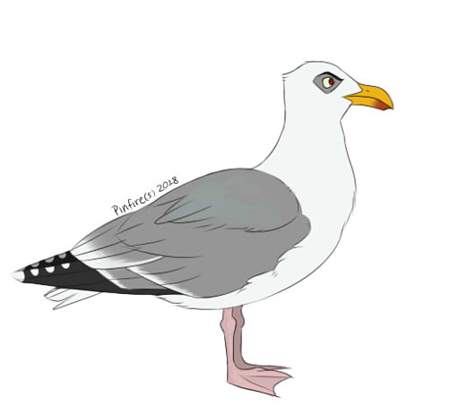 American Herring Gull by Pinfires