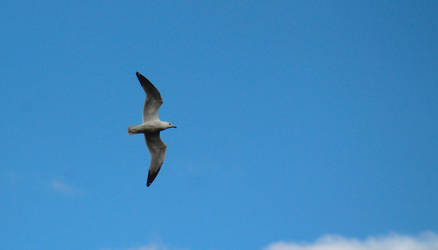 Ring-billed Gull by Pinfires