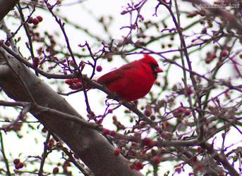 Northern Cardinal by Pinfires