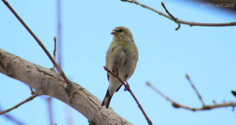 American Goldfinch by Pinfires