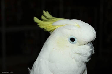 Sulfur-crested Cockatoo by Pinfires