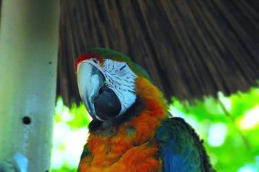 Hybrid Macaw 8-2019