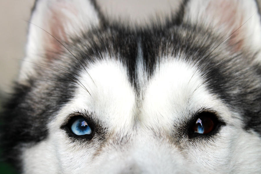 Husky Eyes by Noddey on DeviantArt