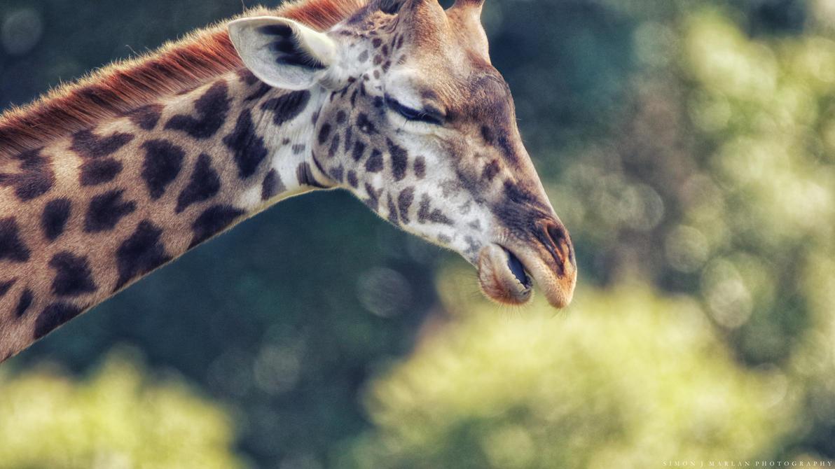 Giraffe study I by Darth-Marlan