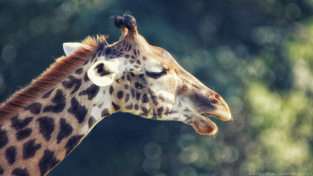 Giraffe study III by Darth-Marlan