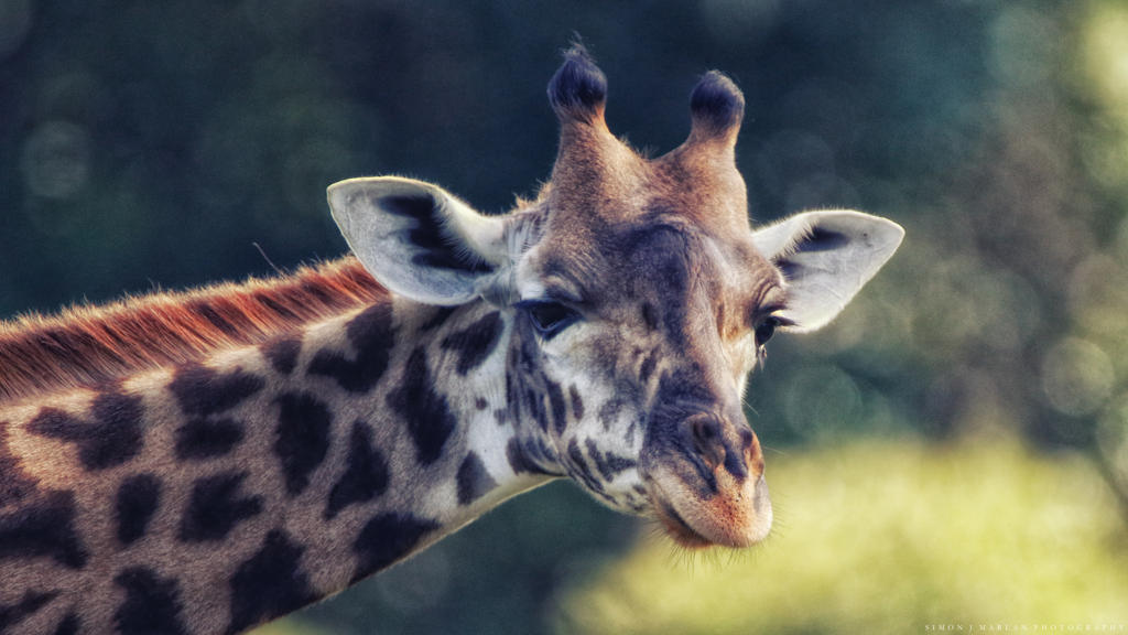 Giraffe study IV by Darth-Marlan