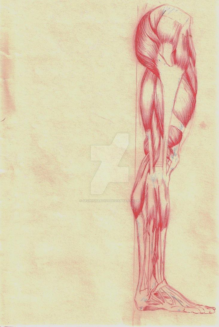 Anatomy Leg Side View By Spanishartist On Deviantart