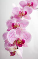 orchid by jenah