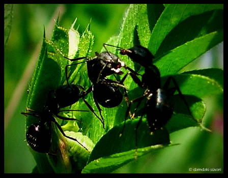 playing ants