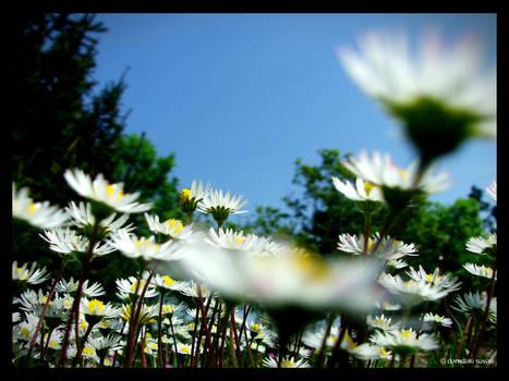 daises and the sky by damdakisuvari