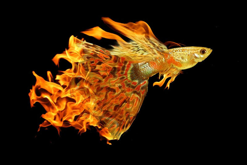 Flaming Skyfish