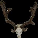 Skull of a reindeer