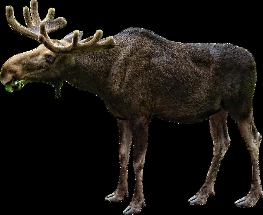 Elk or moose by RavensLane