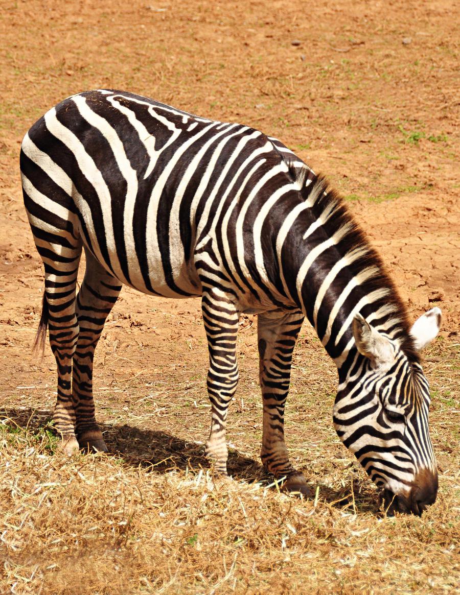 Zebra by RobynCutts