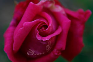 Touch of Pink by KerovinBlack