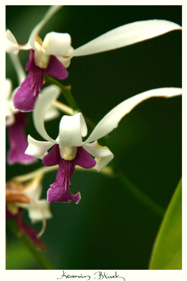Orchid from the Maldives by KerovinBlack