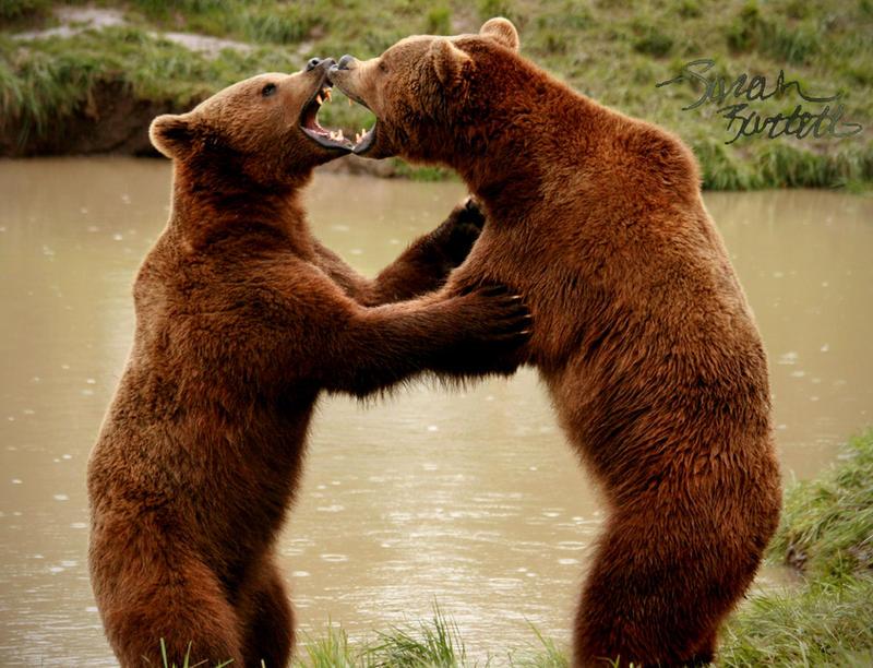 Brown Bear Brawl by NaturePunk