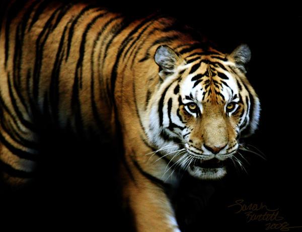 Stealth Tiger by NaturePunk