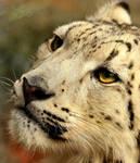 Snow Leopard Cub: Close-Up