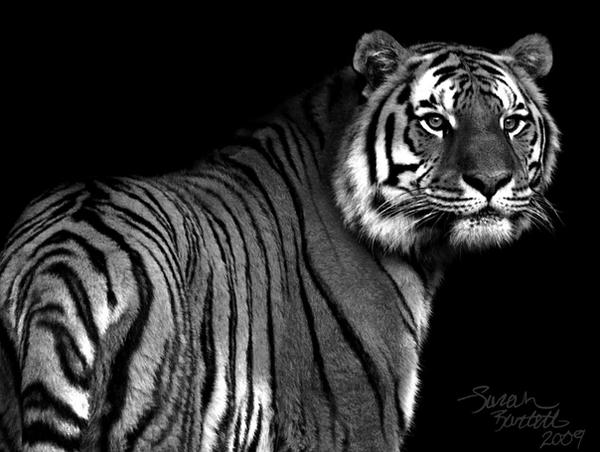 Amur Tiger in Black and White by NaturePunk