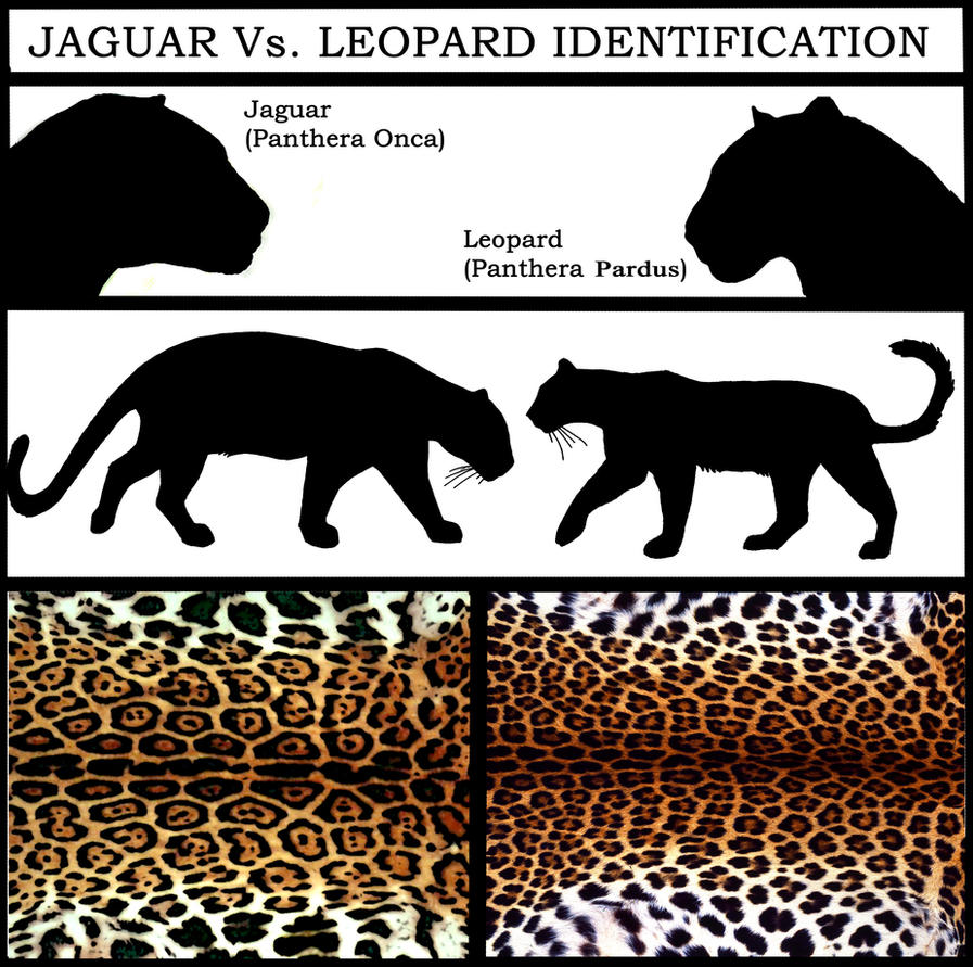 Black Leopard Vs Black Jaguar