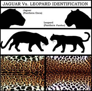 Jaguar Vs. Leopard