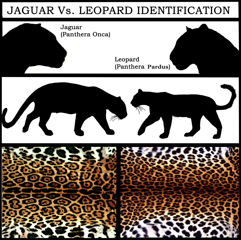 Jaguar Vs Leopard Vs Cheetah Vs Panther Vs Puma - photo#37