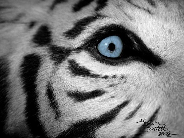 animal eye black and white - photo #27