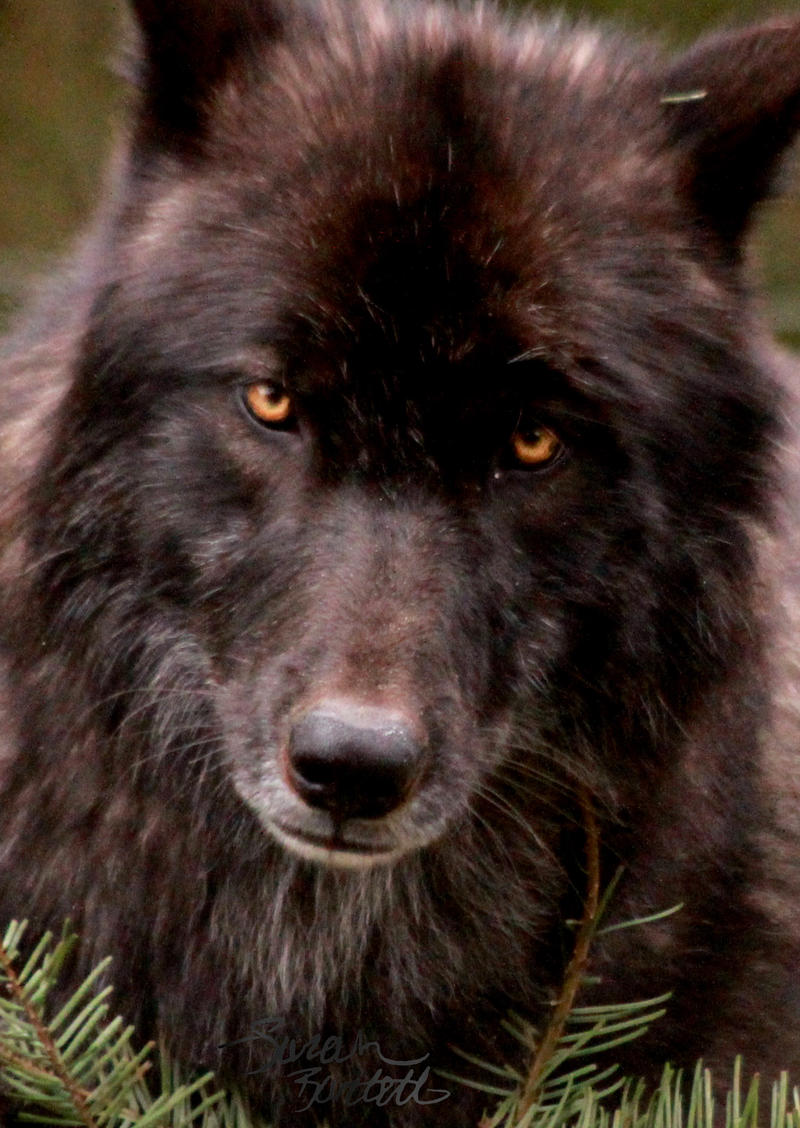 wolf in black and - photo #42