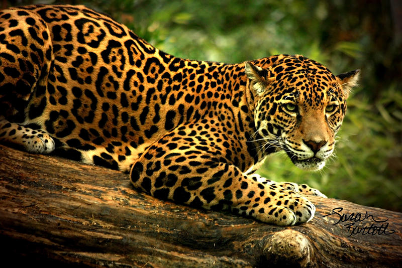 The intensity of jaguar eyes by naturepunk on deviantart the intensity of jaguar eyes by naturepunk voltagebd Gallery