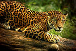 The Intensity of Jaguar Eyes