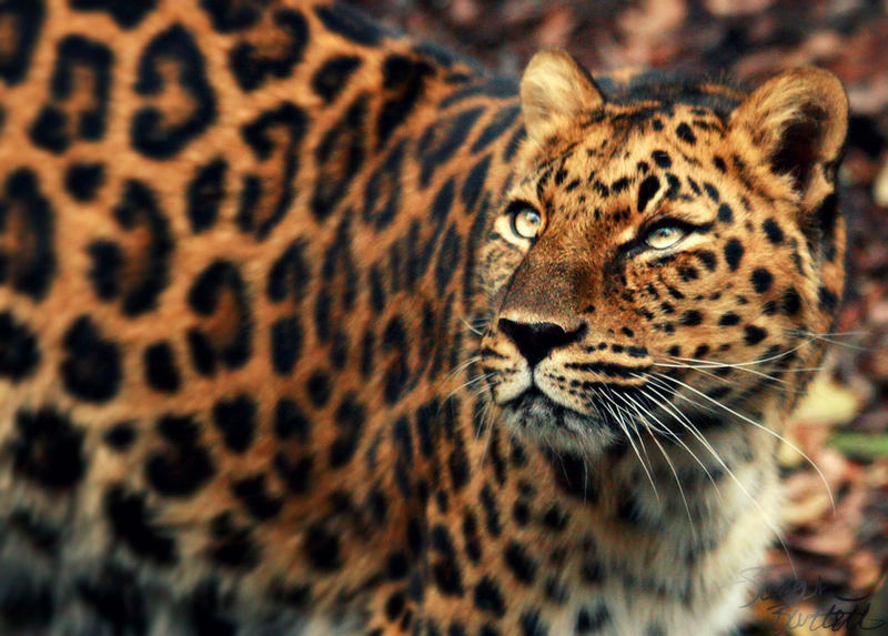 Kia the Amur Leopard by NaturePunk