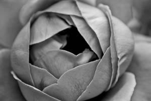 +Rose+
