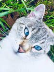 Blue Eyed Cat by Wohkah