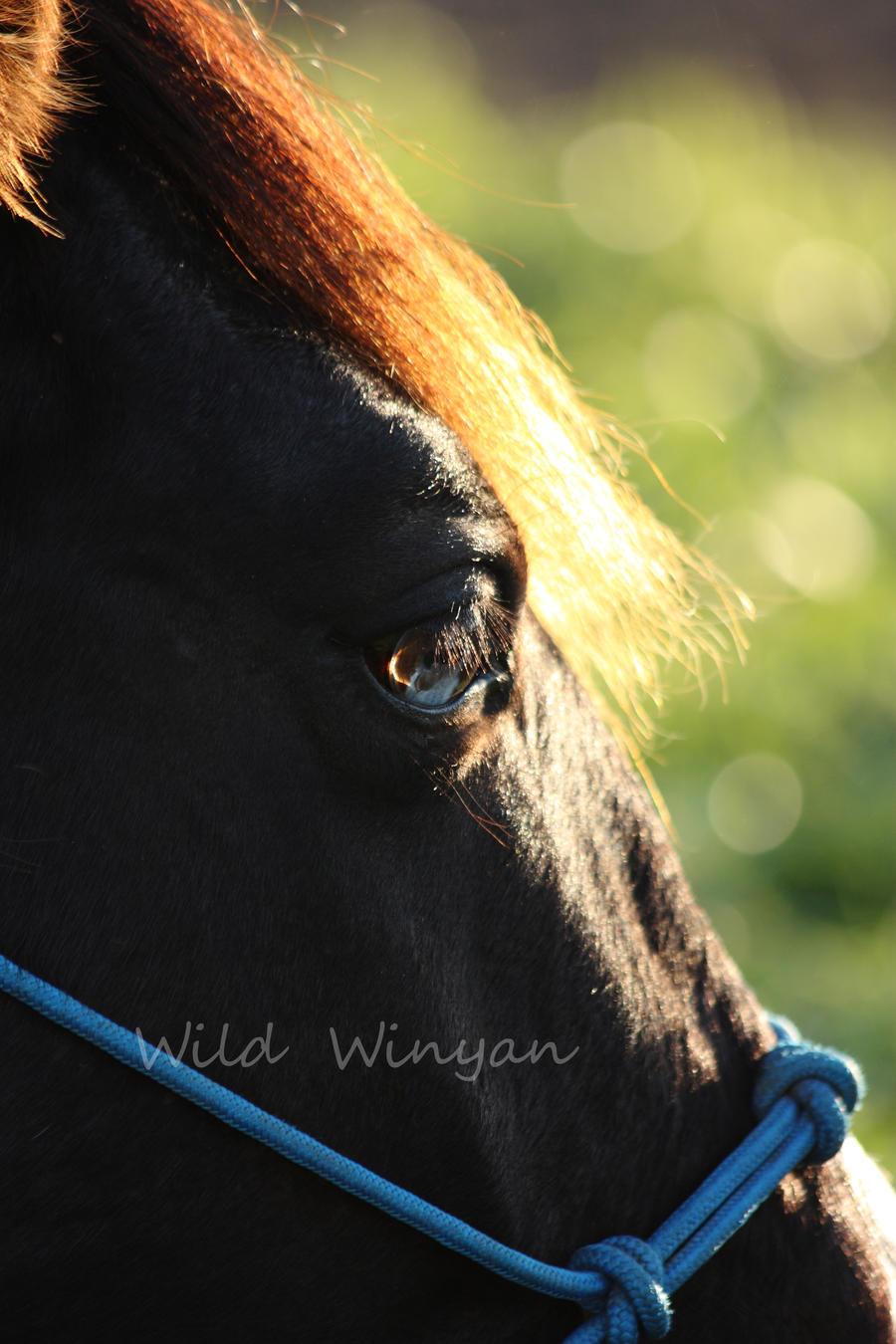 Comanche by WildWinyan