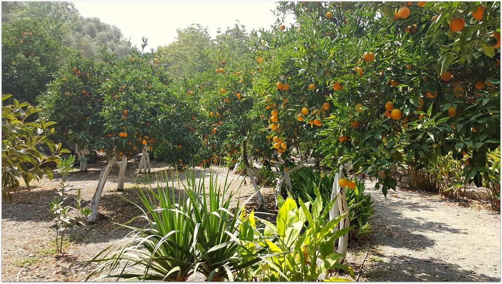 Orange tree garden by ChokoAngel