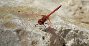 The Crimson Dragonfly (Trithemis annulata)