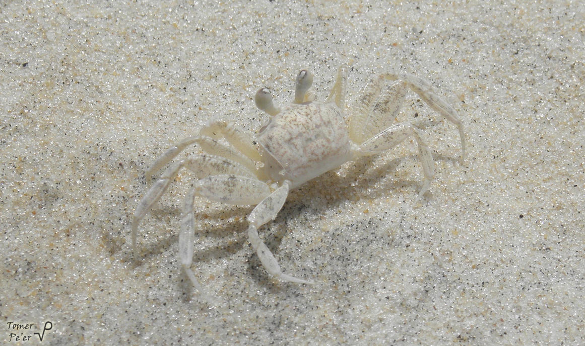 Sand White Ghost Crab (Ocypode Quadrata) by Tomer-DA on ...