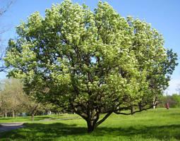 Pear tree by Vipra-Ur