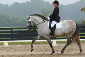Gray Andalusian Stallion 010 by diamonte-stock