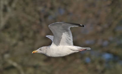 herring gull by mrordinary