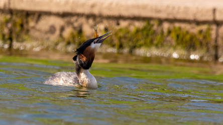 great crested grebe by mrordinary