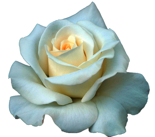 White rose png by darksideofgraphic on deviantart for Buy black and blue roses