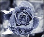 Winter Rose by Kizuna-chan