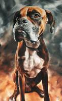 Boxer - Drako