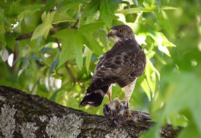 Hawk with Mockingbird