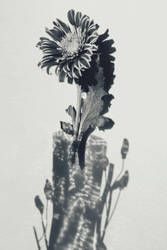 shadow and flower by korshunovak